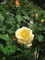 Yellow rose by mdu-ntr