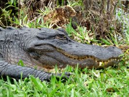 King of the Swamp by UniversalKinase