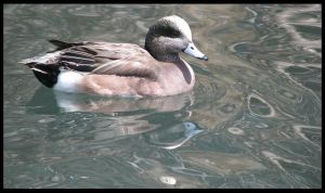 American Widgeon by PurlyZig