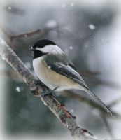 Chickadee in Snow by barcon53