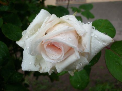 White Rose II by ANDMAiYESi1986