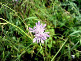 rare wild flower by ArisAnthopoulos