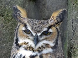 great horned Owl by Nipntuck3