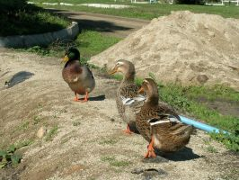 Ducks V by ephedrina-stock