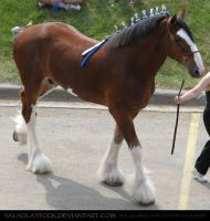 Clydesdale 13 by SalsolaStock