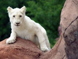 African White Lion 3. by purevintage
