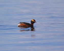 Horned Grebe in breeding colors by swashbuckler