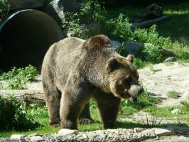 Grizzly Bear 18 by Unseelie-Stock
