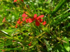 Little red flower by Liline-shann