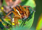 Young Raft Spider - Dolomedes fimbriatus by TheFunnySpider