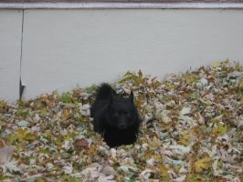 Schipperke. Ebony. by PhenomenallyMe22