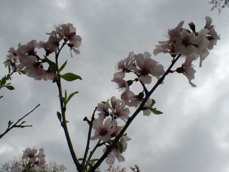 Almond Blossoms by Tima-chan