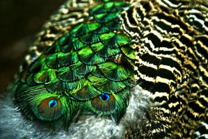 peacock pattern by photo-exile