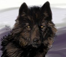 Black Wolf by rwolf