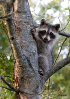Baby Raccoon II by DGAnder