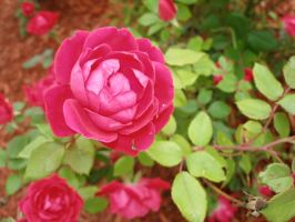 rose19 by lampshaded-stock
