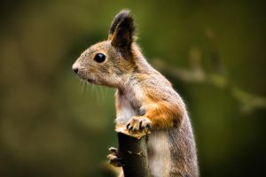 Squirrel VI by sampok