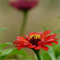 Red zinnia square by Mogrianne
