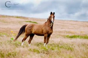 Chestnut Arabian by Colourize