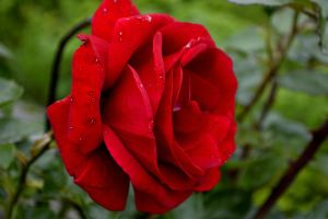 Even a Rose, When Seen Close by Clangston