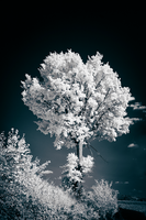 Trees painted White - IV by sorny