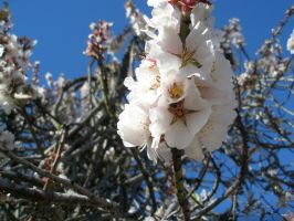 Ume:Plum Blossoms by BaronOfTheWillows