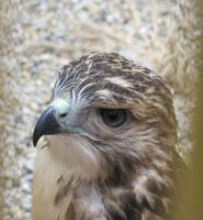 Young Red-Tailed Hawk 2 by Windthin