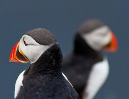Puffin Twins by Sagereid