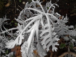 Crispy Ice plant by UnknownEmerald