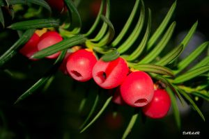 Yew by dabaar