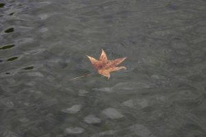 Maple Maple in the Water by Amy2121