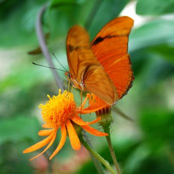 Butterly on Flower by NickyNovacaine