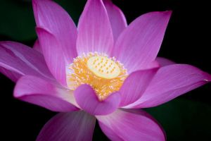Lotus Mystic by DSIM