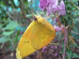 Yellow butterfly by epressutikeh