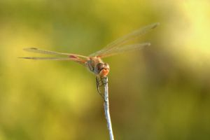 Dragonfly at rest by cathy001