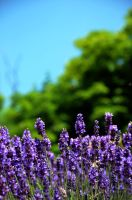 lilac dreams by mimose-stock