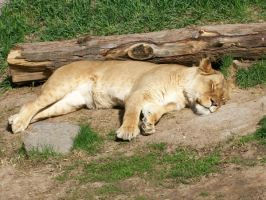 Sleeping lioness by sugarpoultry