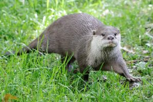 Otter 01 by LydiardWildlife
