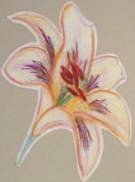 Colored pencil lily by naboobabe