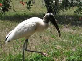 Wood Stork 4 by Polly-Stock