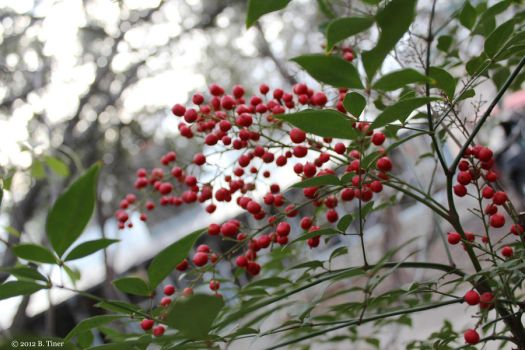Red Berries on a Winter's Day by bltshop