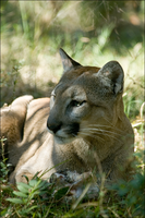 Florida Panther by hoboinaschoolbus