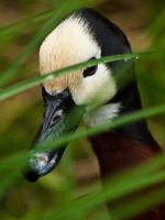 White faced whistling duck  01 - Jun 12 by mszafran