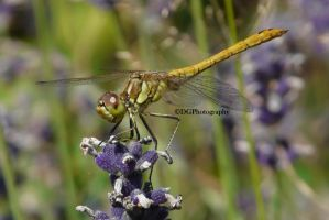The lavander dragonfly by animelover145