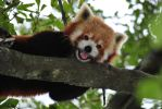Red Panda Face by PrinceOfRedDeath
