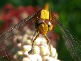 Mr.Dragonfly by Shutter-Shooter