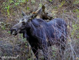 Momma and Baby Moose by mjohanson