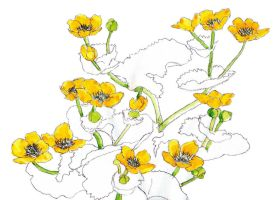 marsh marigolds by merearthling