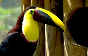 Toucan by DrewCastle