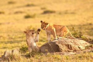African Lion 86 by catman-suha